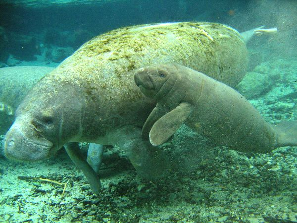 Baby Manatee with Mother