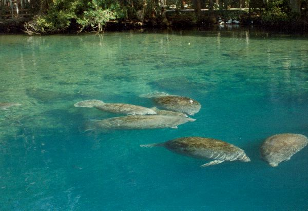 Group of Manatees in Aquarium