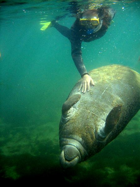 Manatee Playing with Diver