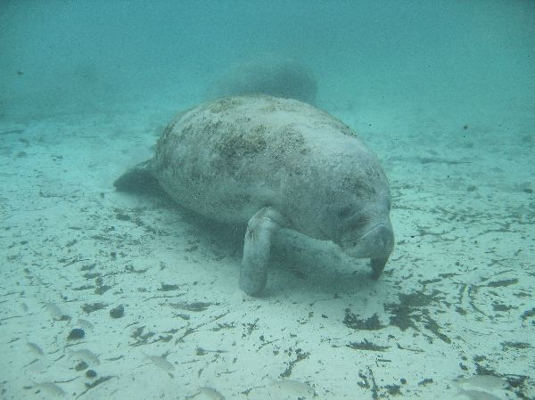 Manatee Searching for Food