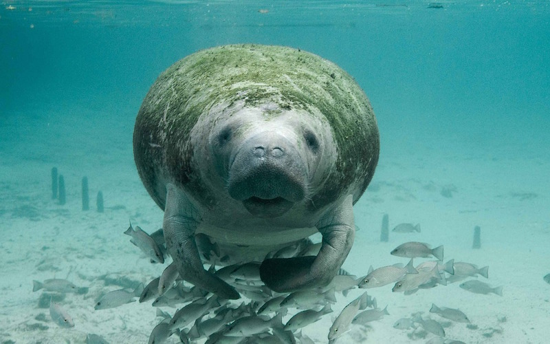 Where to see Manatees in Florida?