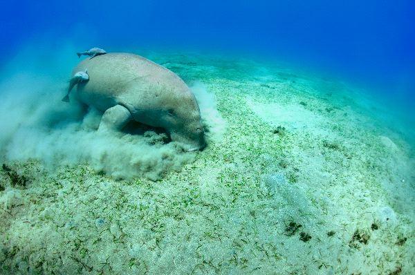 Paceful Dugong