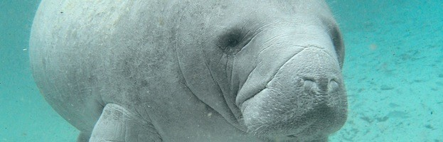 Manatees Endangered