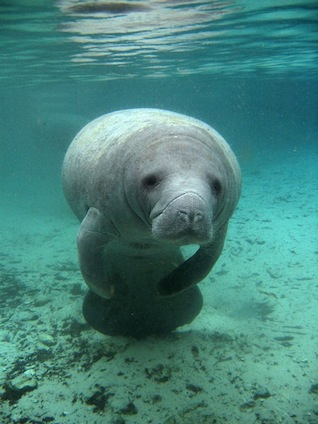 Can manatees survive out of water