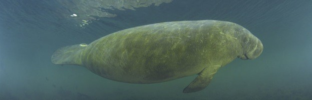 Manatee Pictures