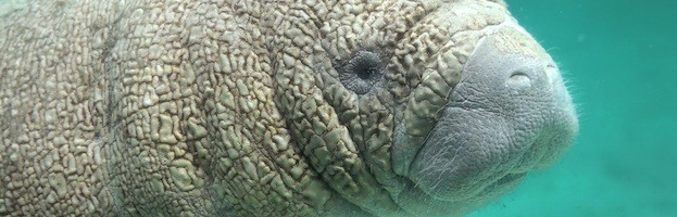 Manatee Reproduction