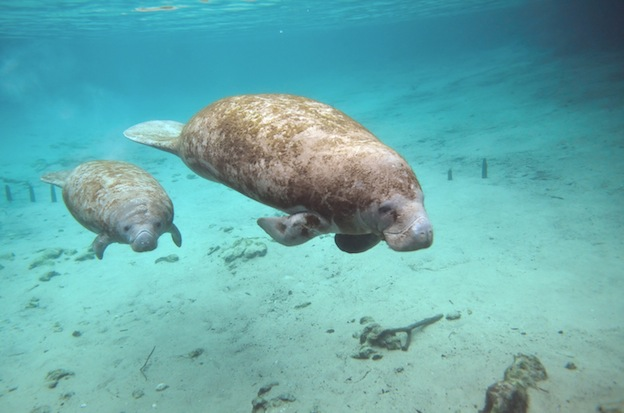 Manatee Breeding