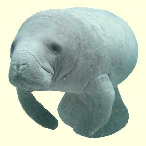top manatee facts